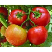 Hạt giống cà chua (9)