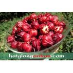 Hạt giống atiso đỏ (bụp giấm)