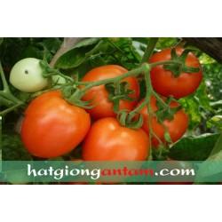 Hạt giống cà chua kháng xoăn