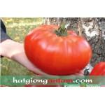 Hạt giống cà chua khổng lồ F1
