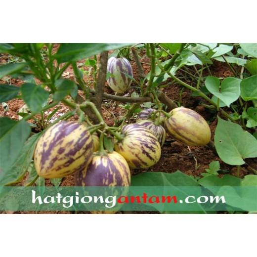 Hạt giống dưa pepino