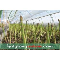 Hạt giống măng tây xanh UC800