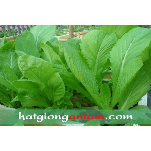 Hạt giống rau cải bẹ xanh lá mỡ