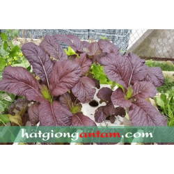 Hạt giống cải canh lá đỏ